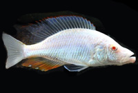 Albino Dimidiochromis