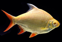 Albino Red Tail Tinfoil Barb