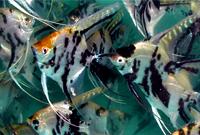 Assorted Angel fish