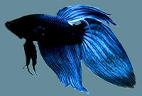 Black – Blue Male Betta