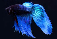 Blue Male Betta