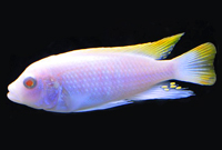 Ice blue albino