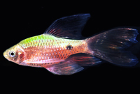 Long Fin Rosy Barb