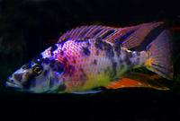 OB Dimidiochromis