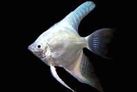 Platinum Angel fish