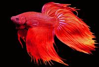 Red Male Betta