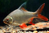 Red Tail Tinfiol Barb