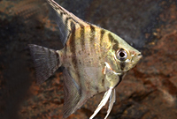 Zebra Lace Angel Fish