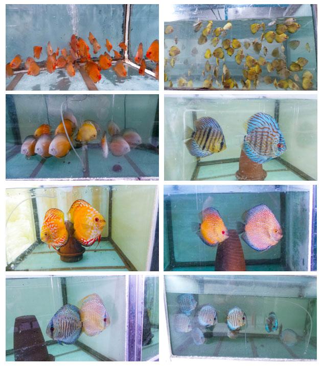 discus-fish-farm-thailand
