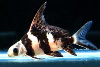 Asiaticus (Hifin Loach)