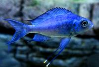 Blue Goldtip Cichlid