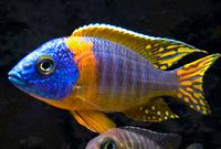 Blue (Malawi) Orance Shoulder