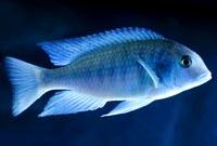 Blue donphin (Moorii)