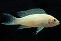 Brichardi Albino