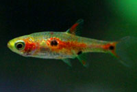 Dwarf Rasbora (Three Spot)