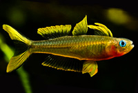 Forktail Rainbow