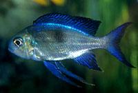 Furcifer Cichlid