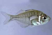 Glass Fish , Giant
