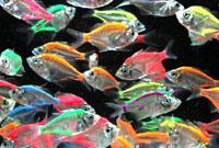 Glass Fish Mix Color