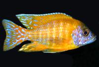 Golden  (Malawi) Orance Shoulder