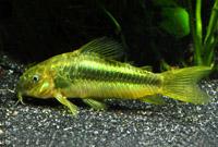 Green Corydorus