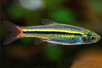 Green Red Tail Rasbora