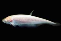 Knife Fish Albino