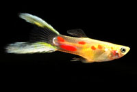 Male Two Tail Guppy