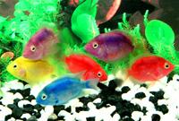 Mix Color Parrot Fish