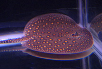 Motoro Female