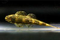 Mountain Lizard Fish