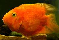 Orange Parrot Cichlids