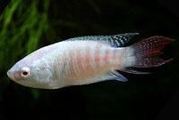 Paradise Fish , Albino
