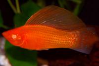 Red Albino Sailfin Molly