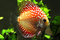 Red Dragon Discus