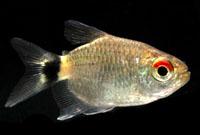 Red Eye Tetra (Short Body)