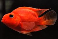 Red Parrot Cichlids