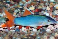 Red Tail Blue Botia