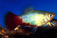 Red Tail Blue Dawn Platy