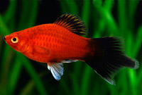 Red Wag Plume Tail Platy