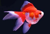 Ryukin , Red & White