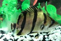 Siam Tiger Fish