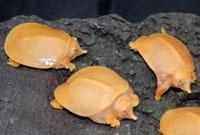 Softshell Turtles Albino