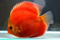 Sun Merah (Solid Red)