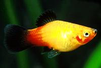 Platy Fish - The Care, Feeding and Breeding of Platys ...