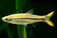 Yellow Tail Rasbora