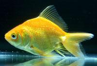 Yellow Goldfish (Canary)