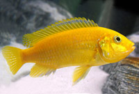 Yellow labidochromis