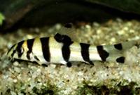 Zebra Botia