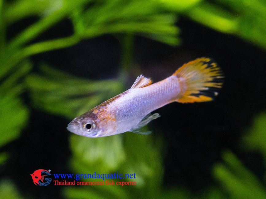 Platinum endler guppy for Endler guppy